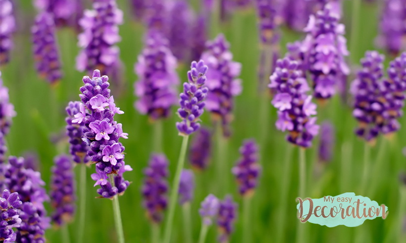 Lavender Meaning: A Special Guide To Its Magical Properties 2021 ❤️
