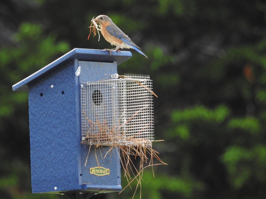What Is The Best Birdhouse For Bluebirds?