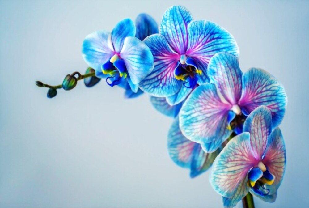 blue-flowers-orchids