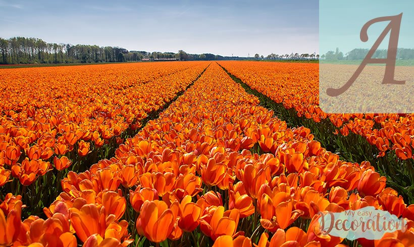Orange Flowers Starting With A