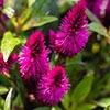 Celosia Plume
