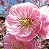 Chinese Plum Blossom