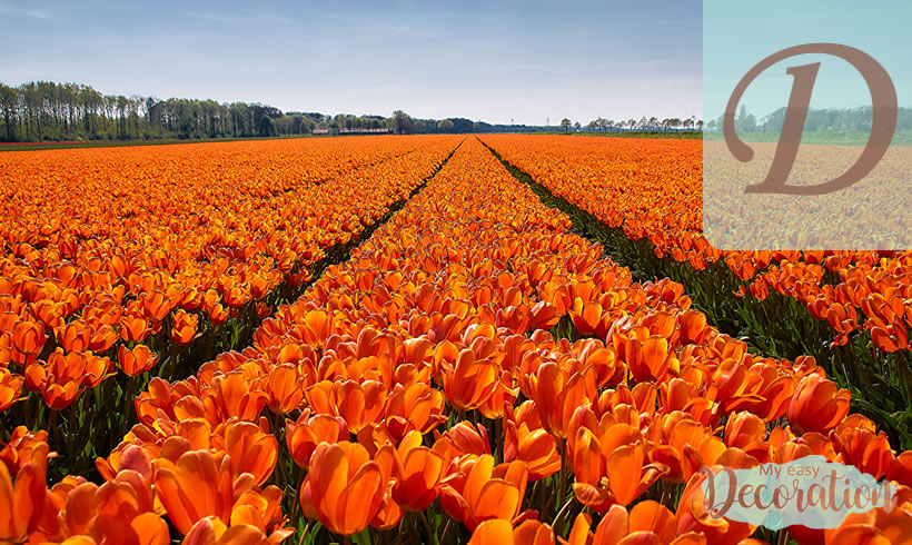 Orange Flowers Starting With D