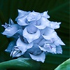 Ice Blue Calathea