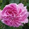 Lokelani Rose