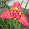 Mexican Lily