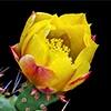 Opuntia Fictus-indica