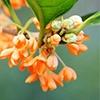 Orange Osmanthus