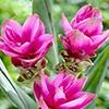 Siamese Tulip