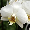 The Moon Orchid