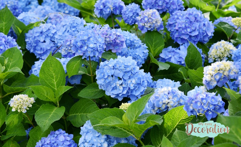 Hydrangea Reminds Us Of The Importance Of Union