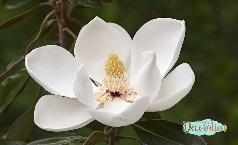 Magnolia Flower And Its Charms