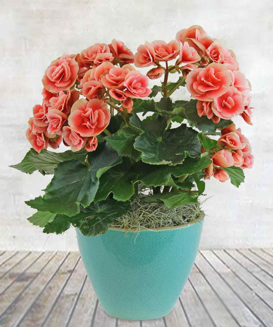 House Plants With Begonia Or Sugar Flower