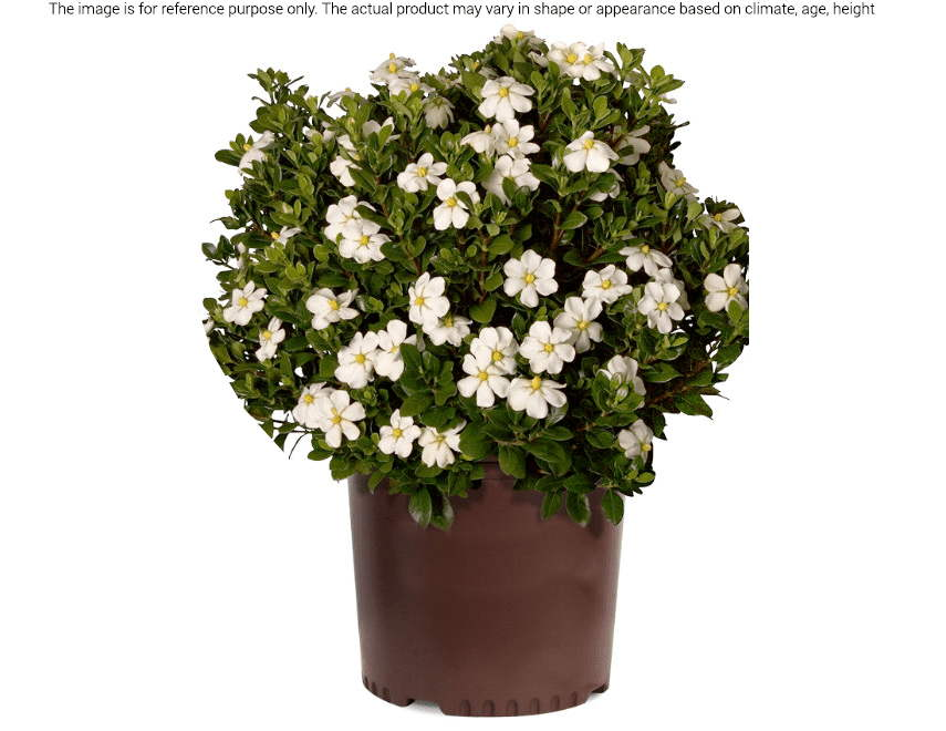 Gardenia Is One Of The House Plants With White Flowers