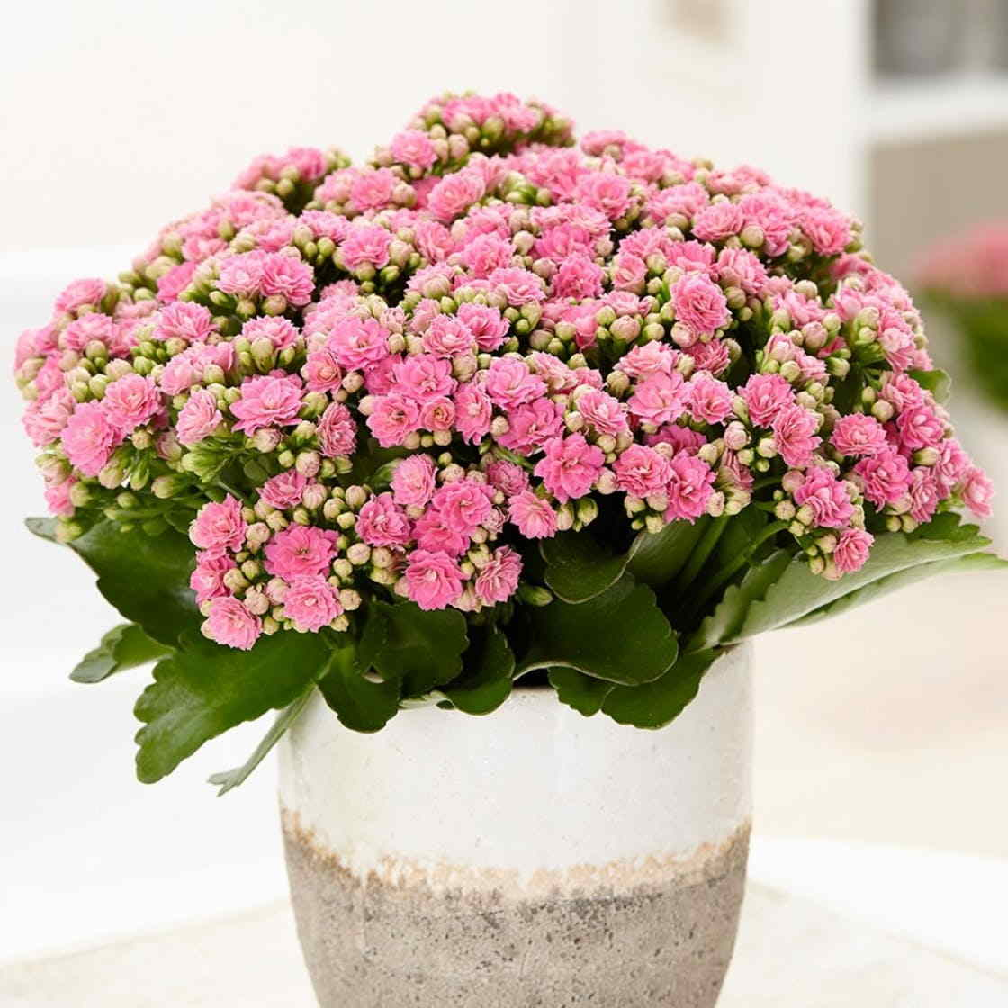 House Plants With Kalanchoe