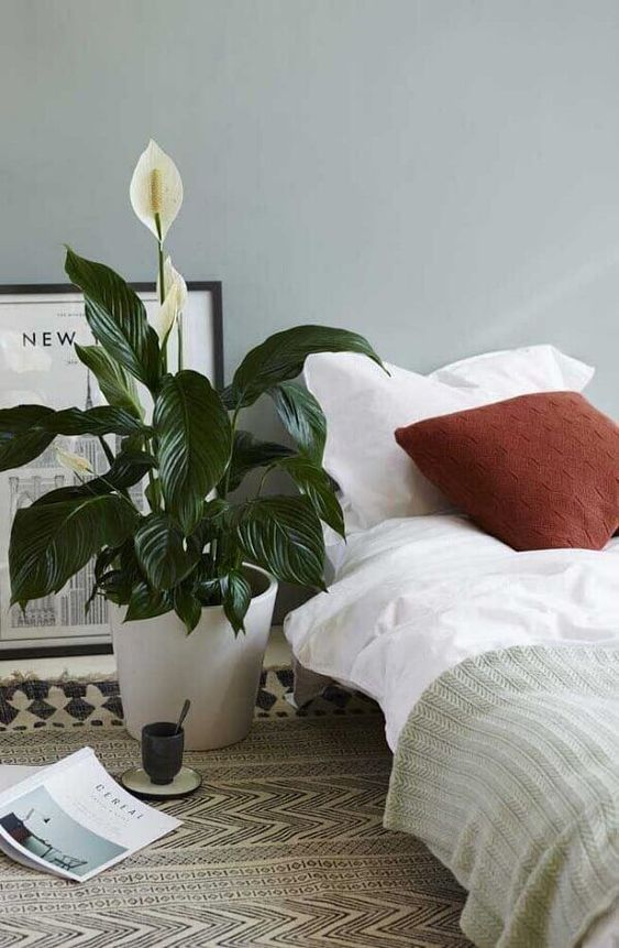 House Plants with Flowers:  Peace Lily