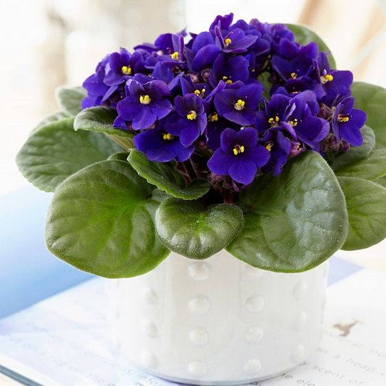 House Plants With Violet