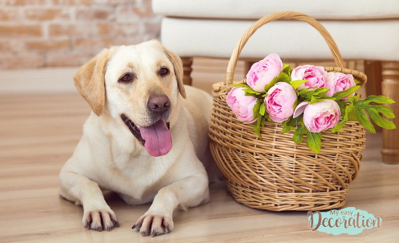Are Peony Poisonous To Dogs?