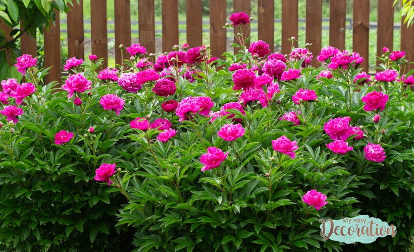 Can I Have A Peony Garden In My House?