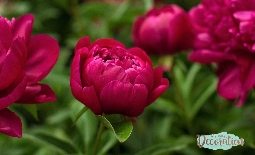 Peony Meaning Flower