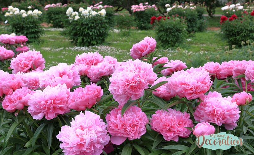 Peony Types And Their Varieties