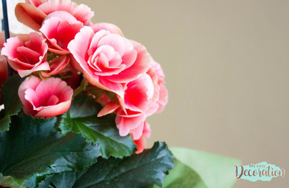 pictures-of-flowers-begonia