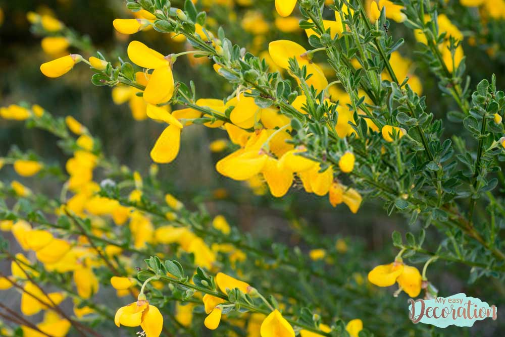 pictures-of-flowers-cytisus