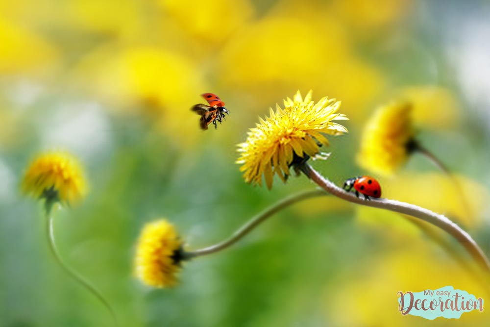 pictures-of-flowers-dandelion