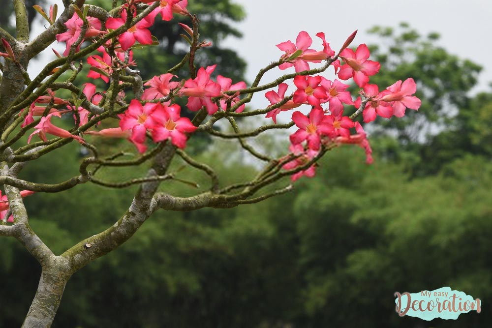 pictures-of-flowers-desert-rose