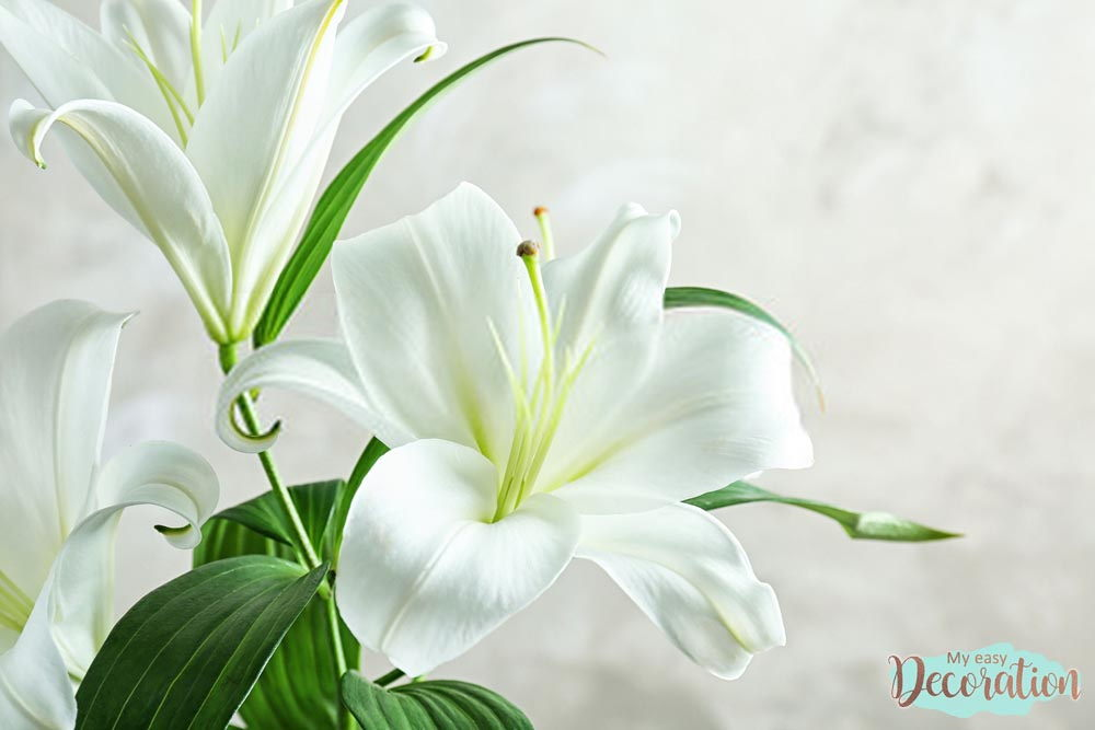 pictures-of-flowers-lily