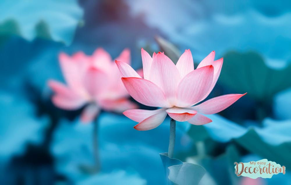 pictures-of-flowers-lotus