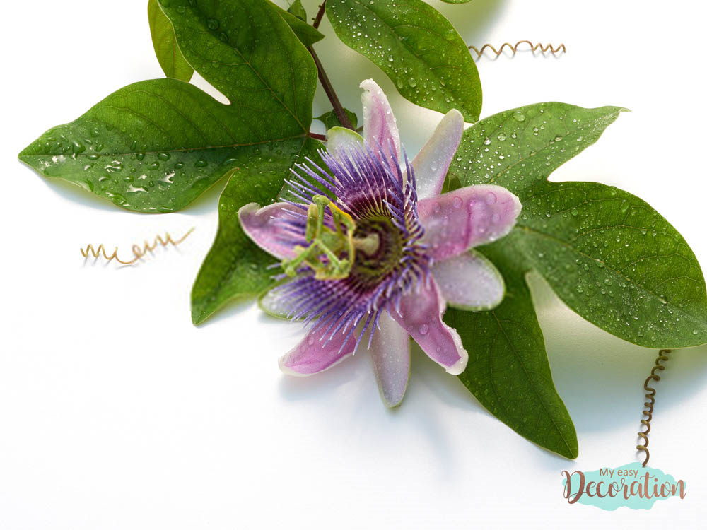 pictures-of-flowers-passion-flowers
