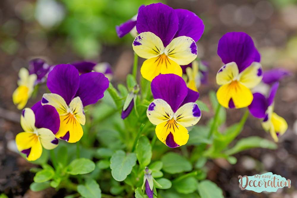 pictures-of-flowers-pensy