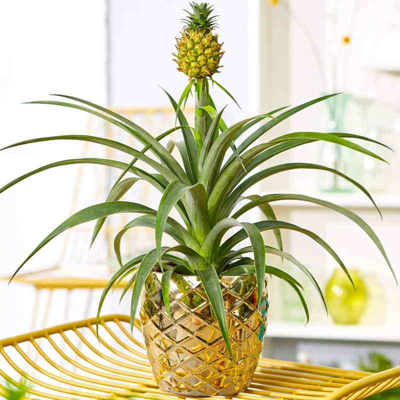 Benefits Of The Pineapple Plant