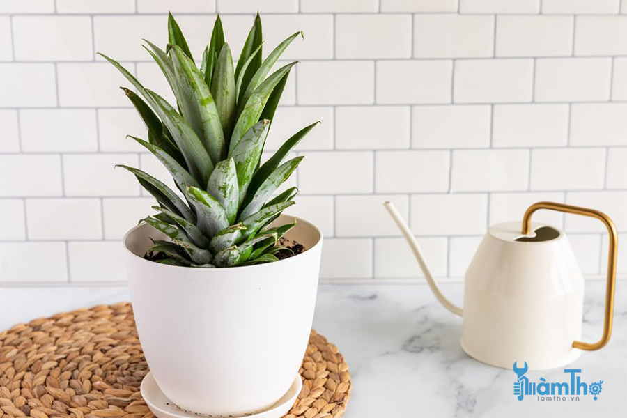 How To Plant Pineapple At Home