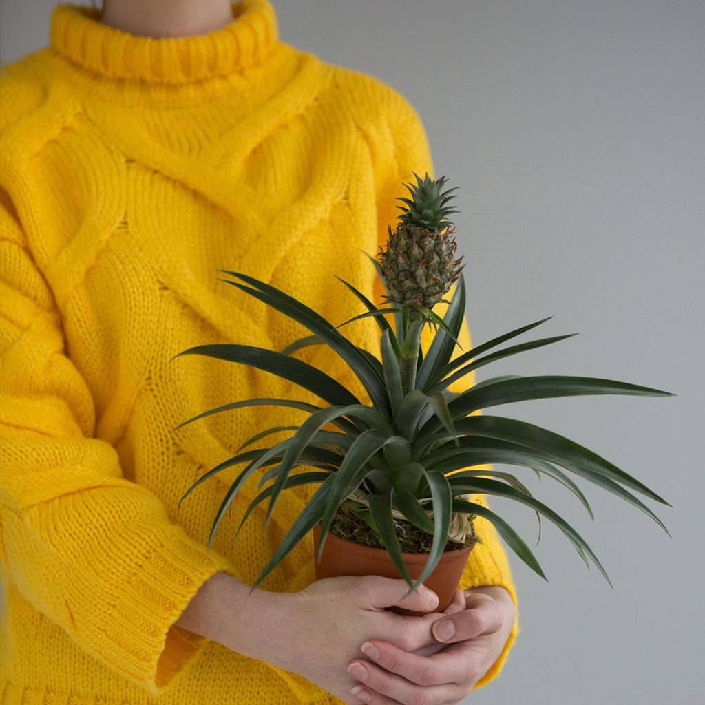 Pineapple Plant Powers In Weight Loss