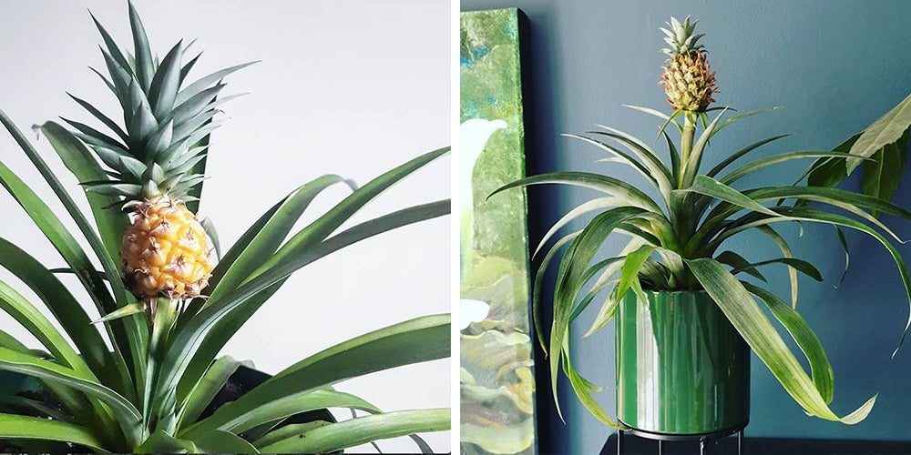Some Important Tips On Pineapple Plant