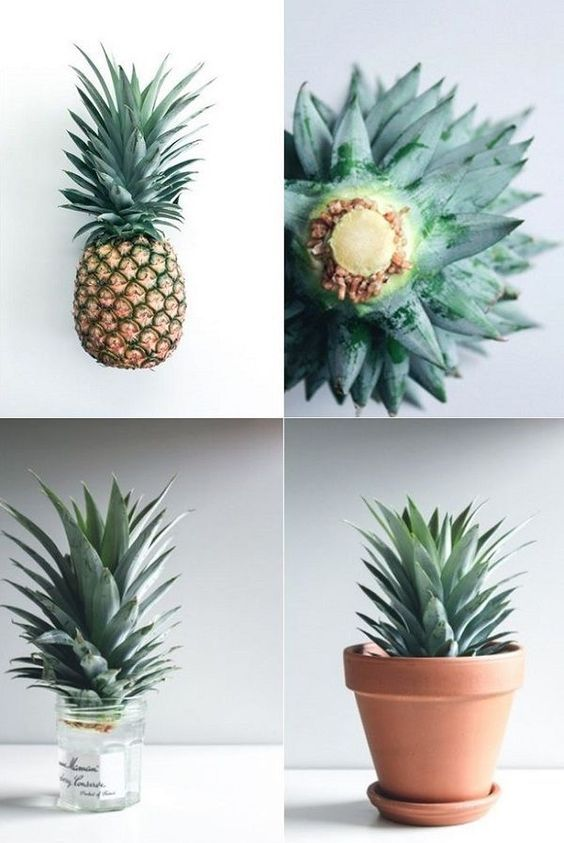 What Is The Best Place To Grow A Pineapple?