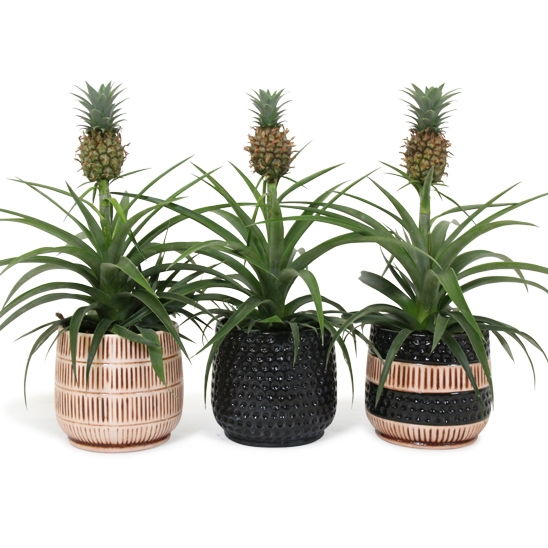 Pineapple Plant Care With Correct Water And Nutrients