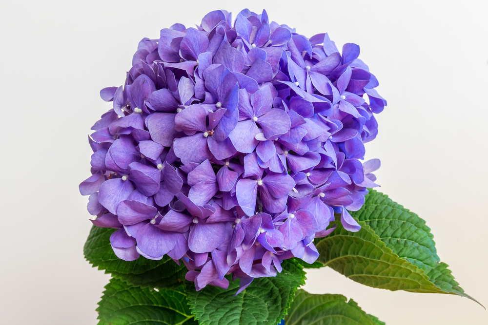 hydrangeas-purple-flowers-names