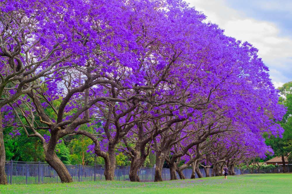 purple-flowers-tree