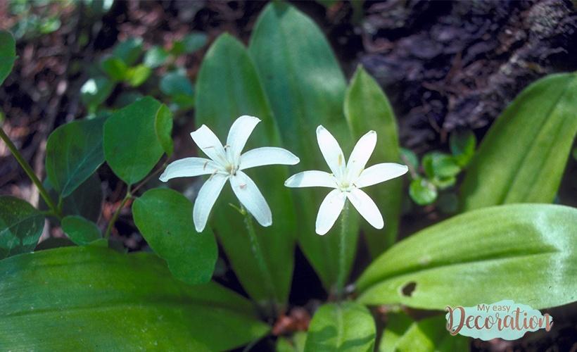 Queen's Cup Flowers Seeds