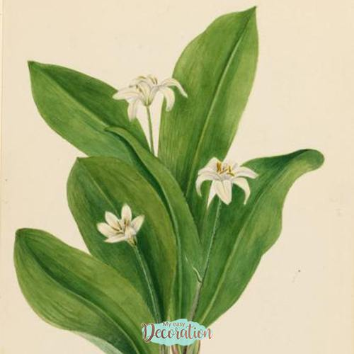 Paintings of Queen's Cup Flowers
