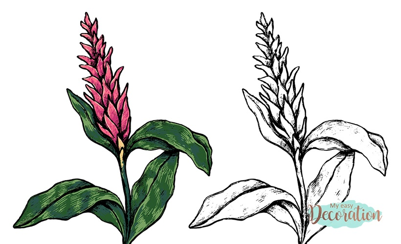 Drawings of Red Ginger Flowers