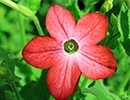Red Tobacco Plant Flower