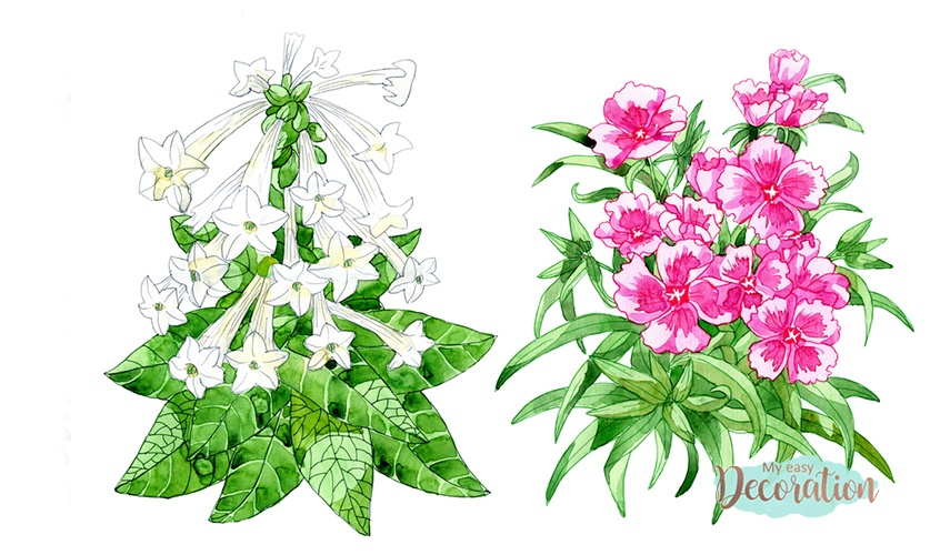 Drawings of Tobacco Plant Flowers
