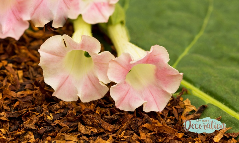 Tobacco Plant Flower Meaning