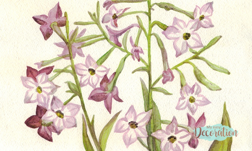 Paintings of Tobacco Plant Flowers