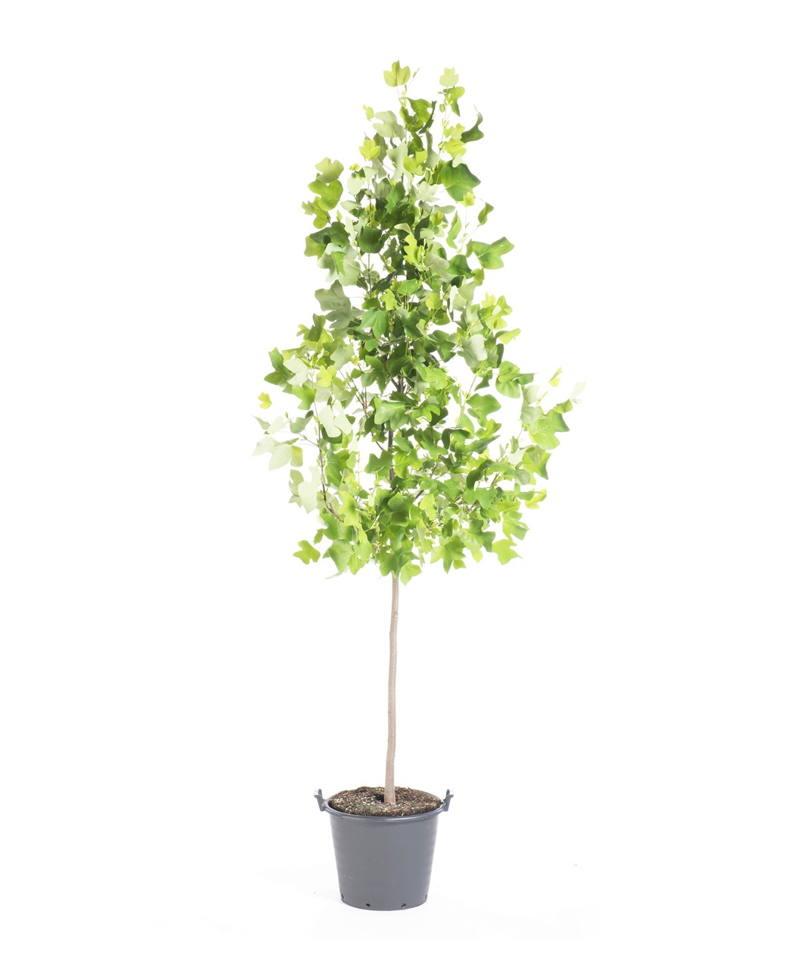 How To Plant Tulip Tree?